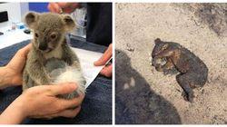 Αυστραλία: Οι συγκινητικές ιστορίες των κοάλα που σώθηκαν από τον