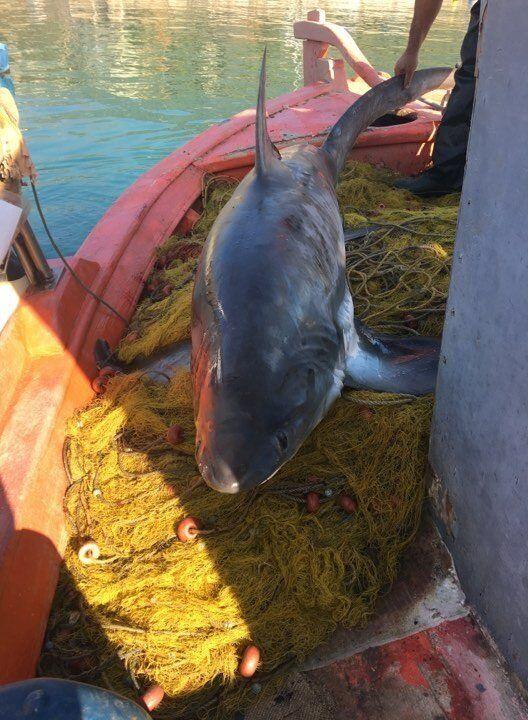 Βόλος: Επιασαν καρχαρία τεσσάρων μέτρων και 100