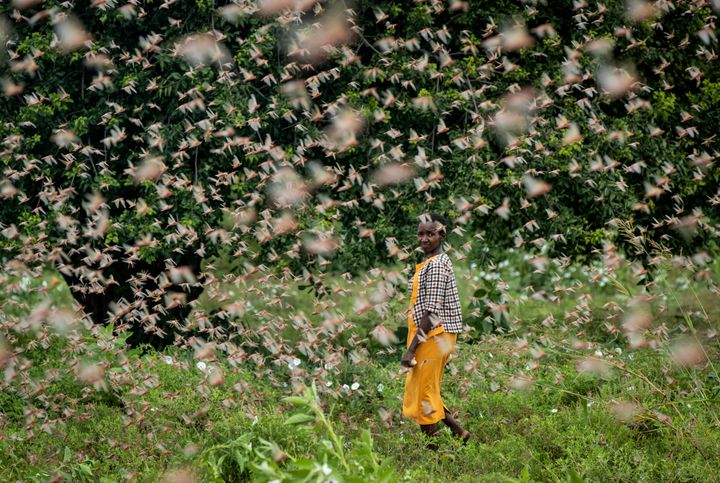 A farmer looks back as she walks through swarms of desert locusts feeding on her crops, in Katitika village, Kitui county, Ke