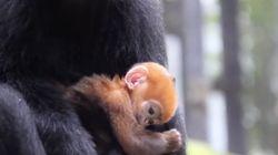 희귀종 프랑수아 랑구르 새끼가 태어났다. 게다가