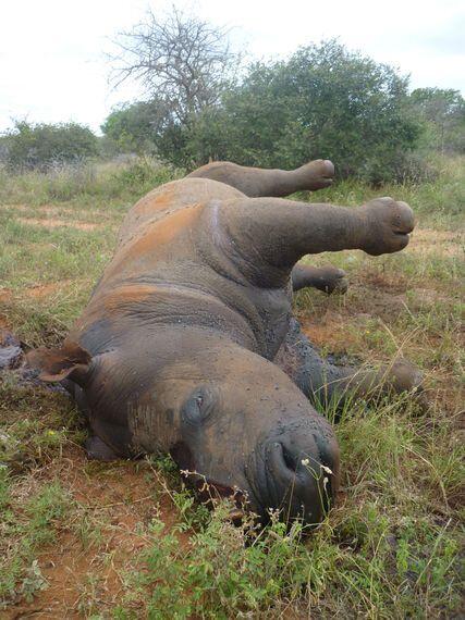 코뿔소 뿔이 숙취해소에 좋다고?   사라져가는