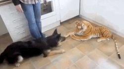 호랑이 인형과 싸우는