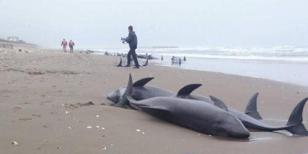 일본 이바라키현 해변에 돌고래 150마리가