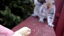 땅콩을 앞에 두고 주저하는 다람쥐(슬로우모션