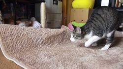 고양이는 엉덩이를 좌우로 흔든다(동영상