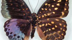 왼쪽은 수컷·오른쪽은 암컷인 나비