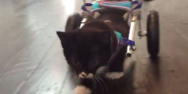 휠체어에서 첫발을 내디딘 장애 고양이