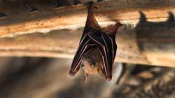 Murciélagos, serpientes, civetas… ¿de dónde ha salido el nuevo