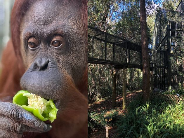 Sandra, elle est la dernière femelle orangs-outans arrivée au