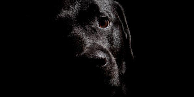 Black Labrador Retriever on dark