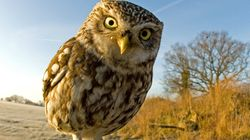'Extremely Obese' Owl Rescued After Becoming Too Fat To