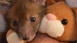 Αυτή η μικρή αλεπού που σώθηκε από θαύμα λατρεύει το λούτρινο λαγουδάκι