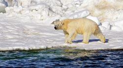 Η φύση δεν δείχνει οίκτο και αναστολές: Πολική αρκούδα κυνηγάει και τρώει αρκουδάκι, σε μια σπάνια θέαση
