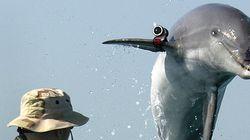 Ένας ξεχωριστός πράκτορας: Η Χαμάς έπιασε δελφίνι που είχε στρατολογηθεί από το
