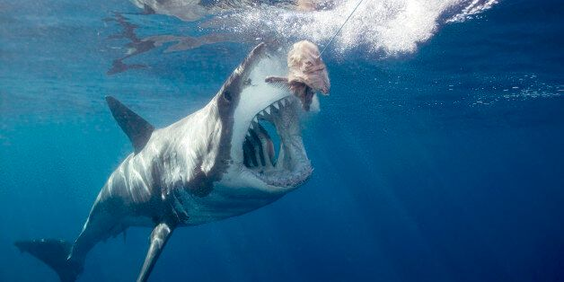 Great white shark arching body and opening mouth for bait