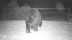 Καφέ αρκούδες εμφανίστηκαν στην ζώνη αποκλεισμού του