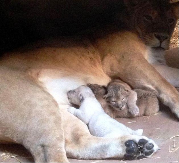 Σπάνιο κατάλευκο λιονταράκι ήρθε στη ζωή!