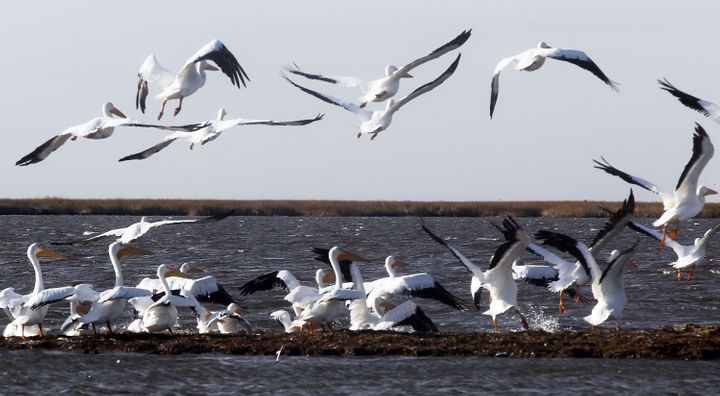 Migratory white pelicans take off from the shoreline of an island battered by oil from the BP oil spill in December 2010, in
