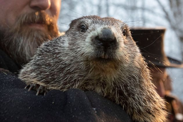 Le copropriétaire du Groundhog Club, Al Dereume, tient Punxsutawney Phil, la marmotte pronostiquant la...