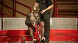¿Circo o prisión? Chimpancés explotados en un zoo alemán (FOTOS,