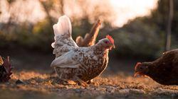 Κίνα: Σκότωσαν 18.000 κοτόπουλα για να μην ξεσπάσει και γρίπη των