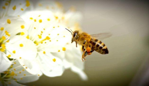 L'ultima ape - presa