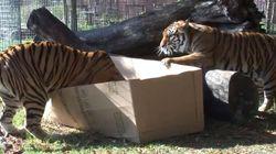 ¿Qué hacen un tigre o un león si les dejas una caja de cartón?