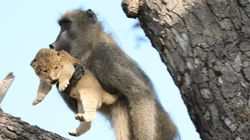 Baboon And Lion Cub's 'Lion King' Moment Is Not What You Think It
