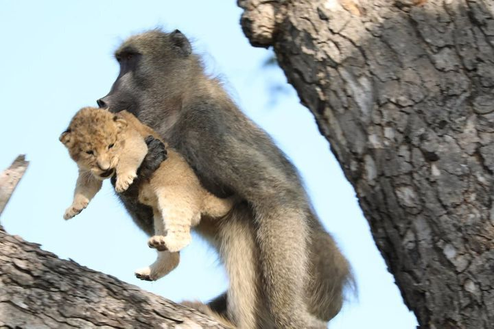 A male baboon carries a lion cub in a tree in the Kruger National Park, South Africa. The baboon took the little cub into the