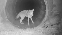 Coyote And Badger Pals Caught On Camera Are Like A Disney Movie In The