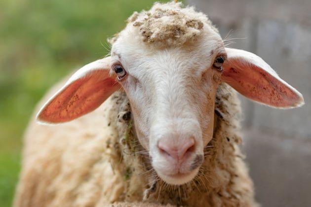 Πρόβατο με GPS οδήγησε στη σύλληψη ζωοκλεφτών στην