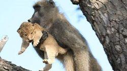 Ce babouin et ce lionceau rejouent