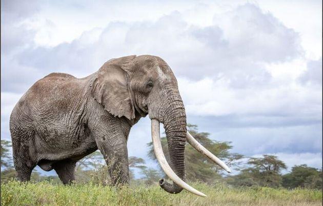 Κένυα: Πέθανε ο Τιμ, ένας από τους τελευταίους ελέφαντες με τεράστιους