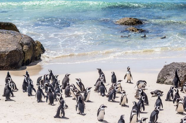 Les manchots du Cap étaient près de 500.000 au XIXè siècle. Aujourd'hui,...