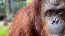 Un orang-outan a tenté d'aider un homme dans une rivière en lui tendant la