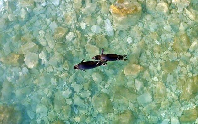 Επέστρεψαν στα νερά των Κυκλάδων οι φώκιες Λένα και