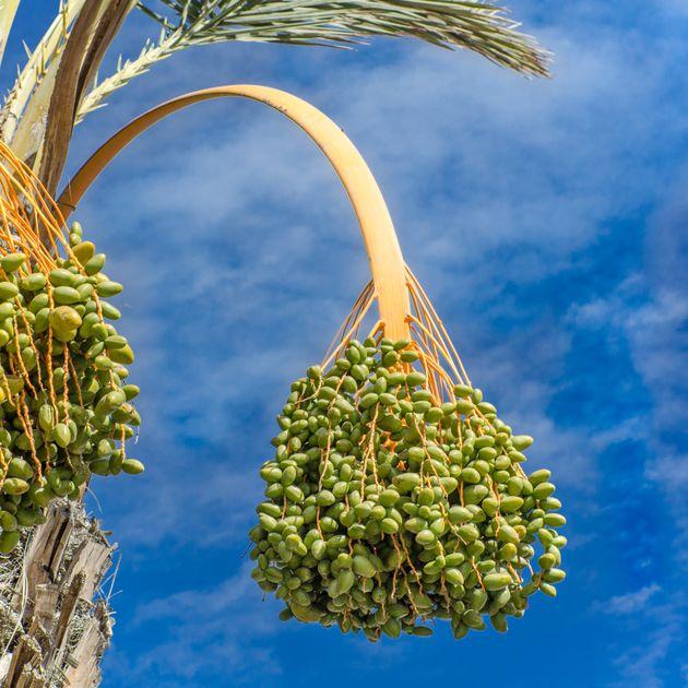De nos jours, les dattes sont principalement cultivées au Moyen-Orient et au