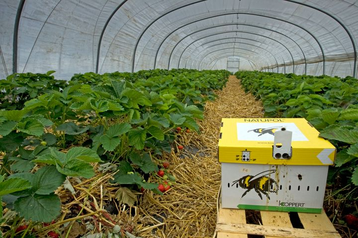 A cardboard beehive with earth bumblebees is ready for the pollination of strawberries in greenhouse.