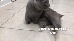 Amputé des 4 membres, ce chat sibérien vit désormais avec des