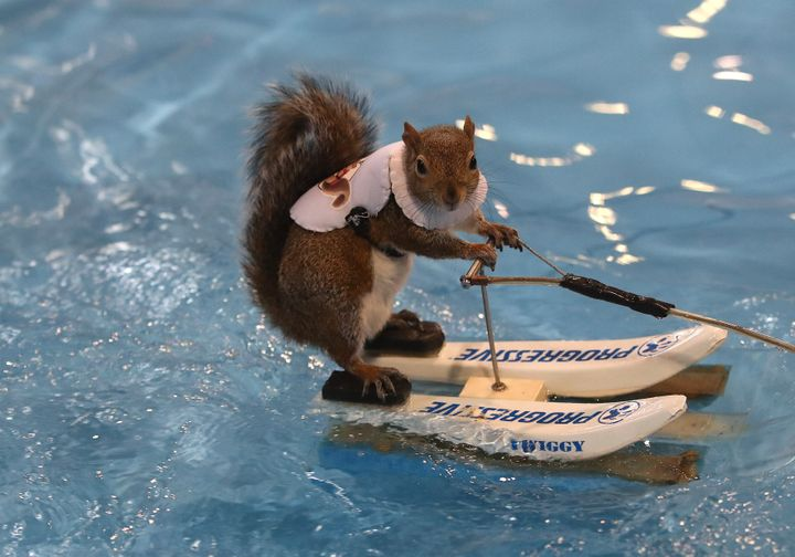 Twiggy the water-skiing squirrel at the Toronto International Boat Show on Jan.17, 2020.