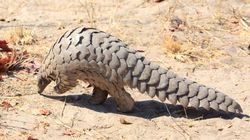 Questo animale potrebbe essere la fonte del Coronavirus secondo la