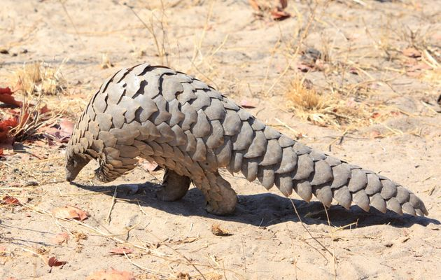 Critically endangered Pangolin walking on the dry arid floor of the african bush in Hwange National Park,