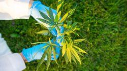 Cannabis: les experts s'attendent à d'autres coupes d'emplois dans le