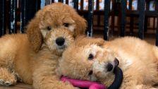 Richter Bestätigt, Maryland Verbot Von Pet-Shops Verkaufen, Hunde Und Katzen