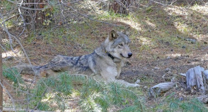 OR-54 when she was 1 1/2 years old, in a photo from the U.S. Fish and Wildlife Service.