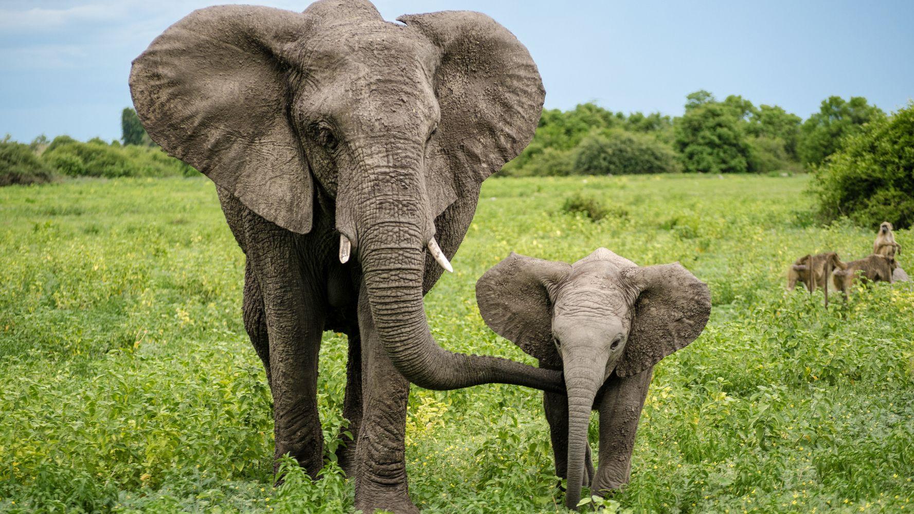 Botswana Selling Licenses To Kill Elephants At $39,000 A Head
