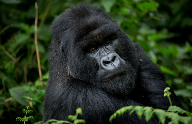 In this photo taken Friday, Sept. 4, 2015, a male silverback mountain gorilla from the family of mountain...
