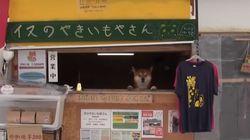 삿포로에는 시바견이 운영하는 '군고구마 가게'가 있다