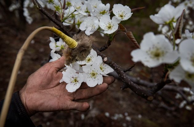 A Chinese farmer hand pollinates flowers on a pear tree. Heavy pesticide use on fruit trees in the area...