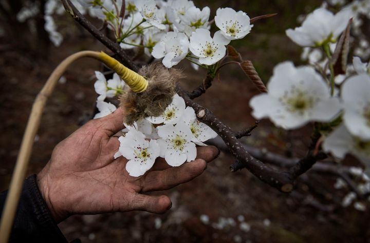 A Chinese farmer hand pollinates flowers on a pear tree. Heavy pesticide use on fruit trees in the area caused a severe decli